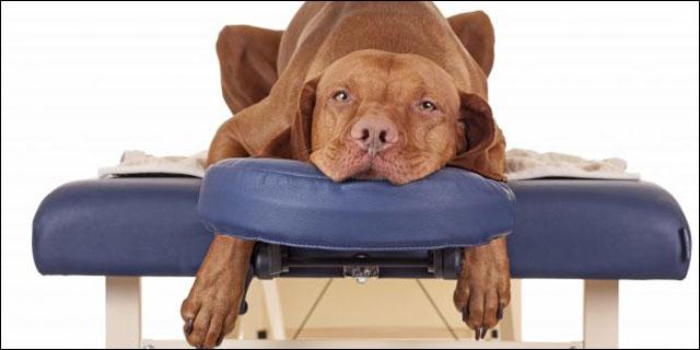 Perro en la camilla de masaje